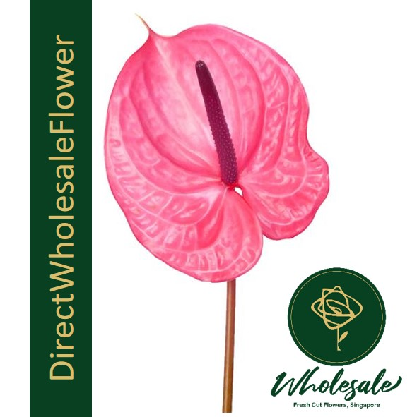 anthurium candy red pink