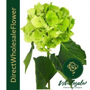 hydrangea green columbia