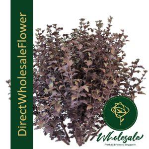 Physocarpus Diabolo ninebark