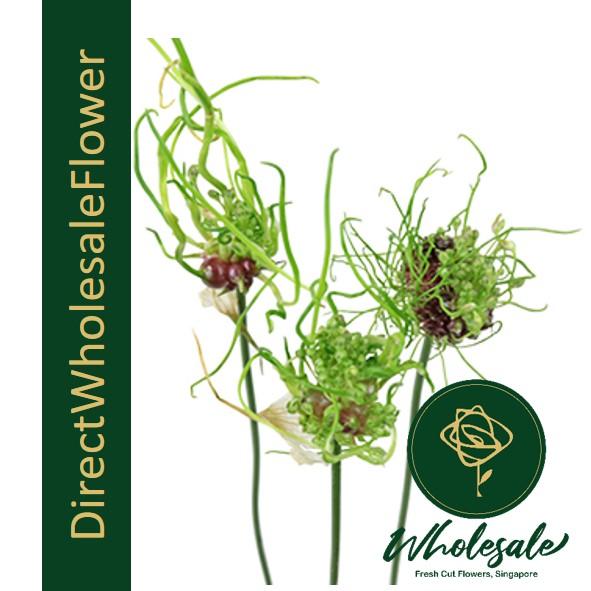 allium dready green