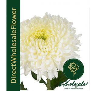 chrysanthemum sunlight white